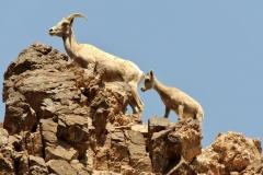 desert_bighorn_sheep_lake_mohave