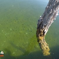 Smallmouth Bass Fry on Lake Mohave